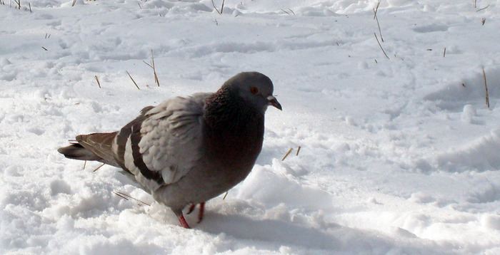 голубь, птица зимой