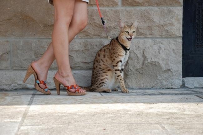 Cамый высокий кот в мире 36729