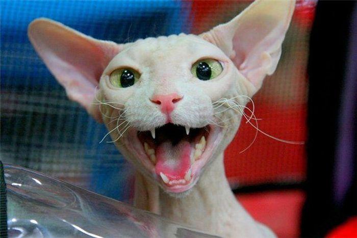 Котики сфинксы