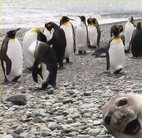 фотка с пингвинами и тюлень в кадр лезет сука