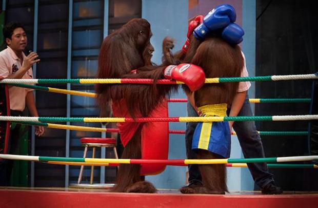 Орангутанги сошлись на ринге Бангкока, Таиланд.