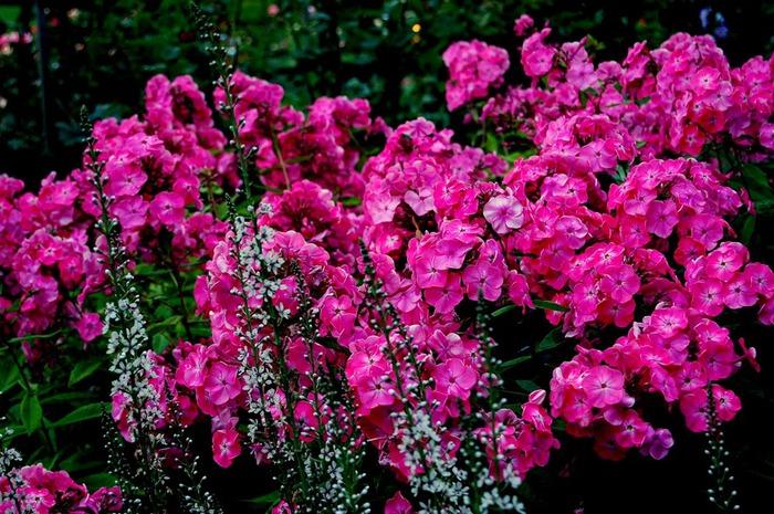 Сады Бучартов на острове Ванкувер. The Butchart Gardens. 21508
