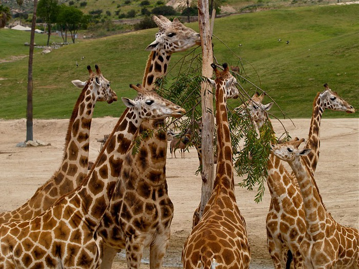 Парк Диких Животных (Wild Animal Park), San Diego 37481