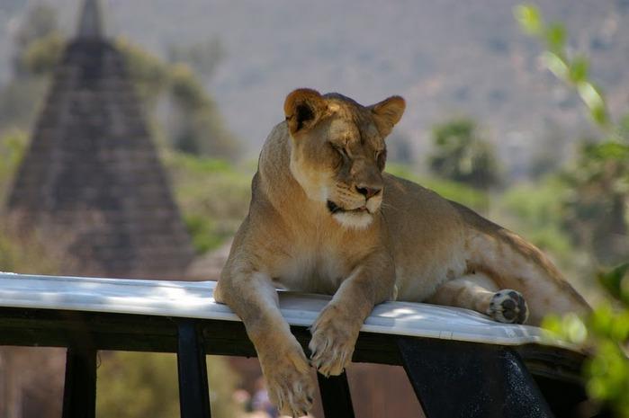 Парк Диких Животных (Wild Animal Park), San Diego 55662