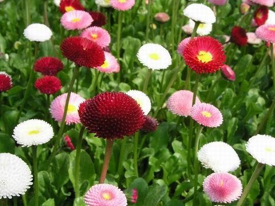 Картинки по запросу цветок маргаритка