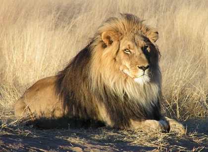 lion4 (420x306, 26 Kb)