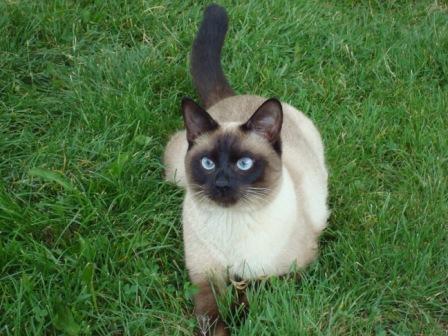 У первых сиамских кошек были...