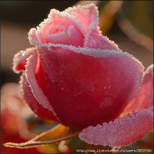 Одна розовая роза прикол