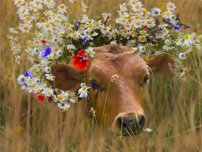 красивые коровы фото