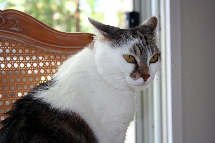 Кошка 84059