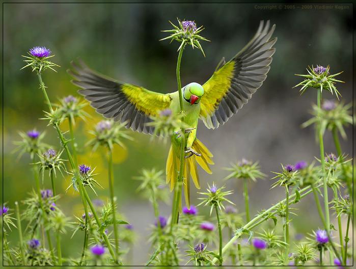попугай на цветах-1 (699x528, 141 Kb)