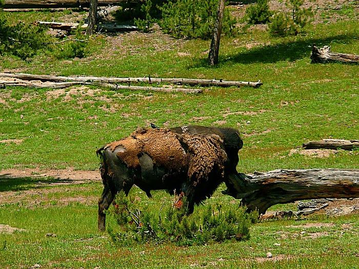 Национальный Парк Йеллоустоуна (Yellowstone National Park) 66637