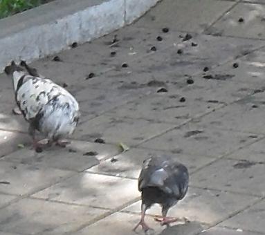 (383x340, 211Kb)А голубям сейчас райская жизнь
