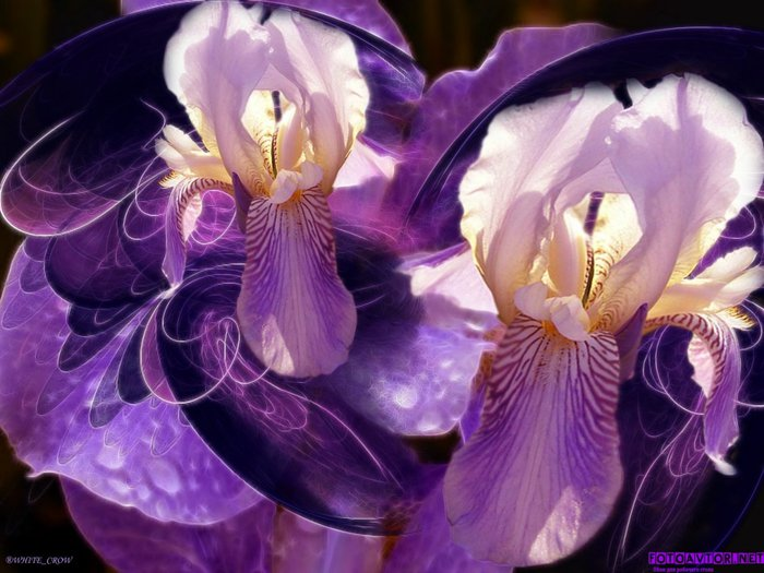 Ирисы цветы