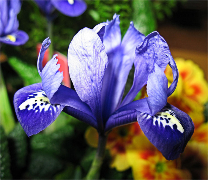 Ирис - цветок богини Ириды