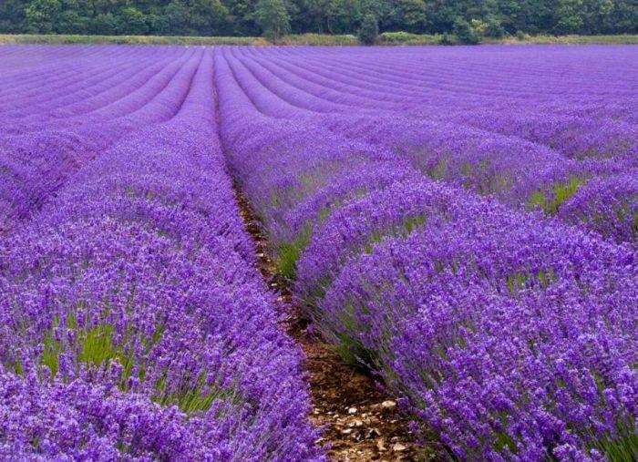 lavender_09 (700x507, 99 Kb)