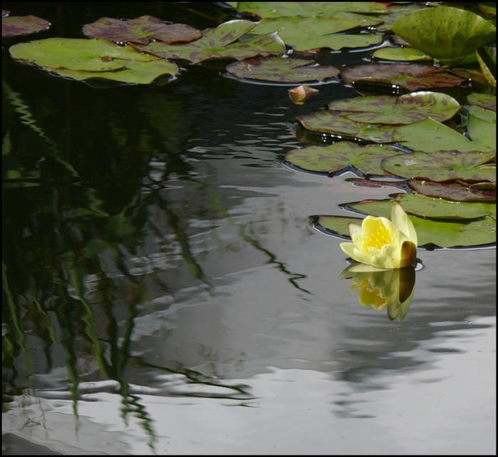 Лотос – символ чистоты