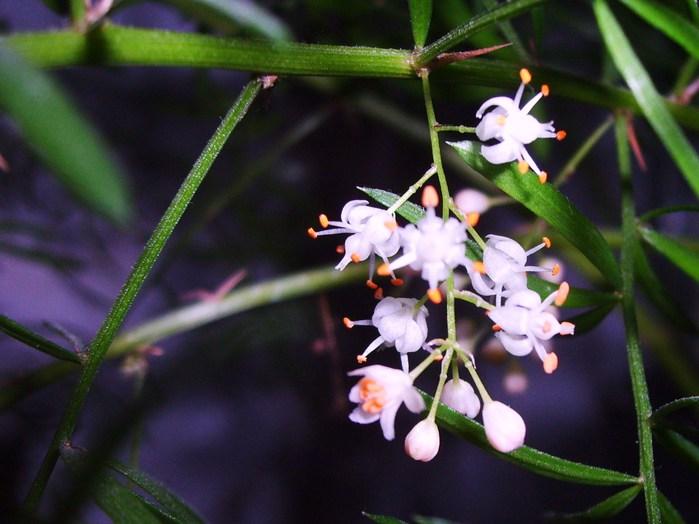 аспарагус цветы