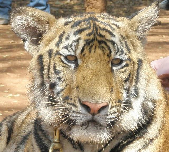 Тигровый храм (Tiger Temple) 31871
