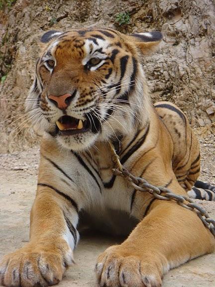 Тигровый храм (Tiger Temple) 39536