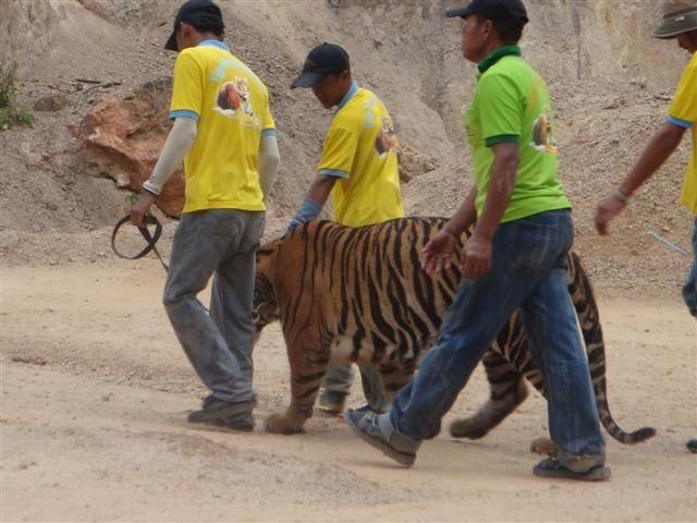 Тигровый храм (Tiger Temple) 88152