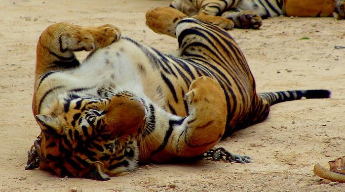 Тигровый храм (Tiger Temple) 70230