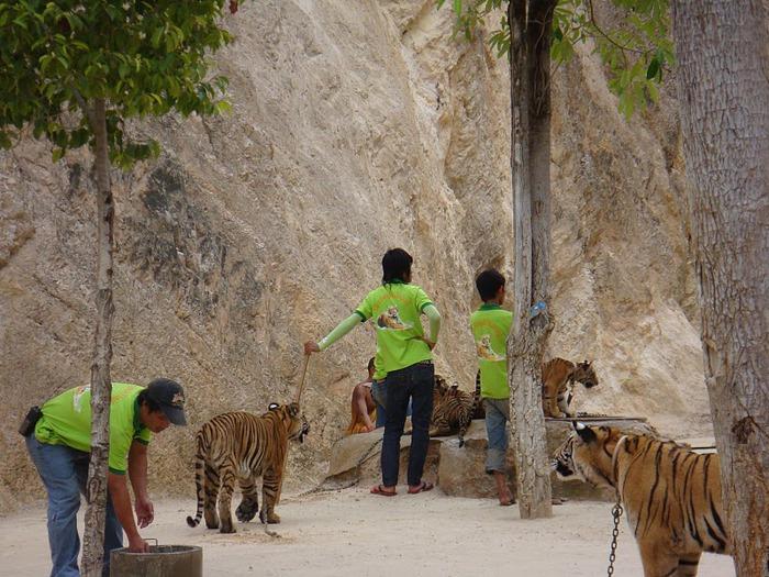 Тигровый храм (Tiger Temple) 26620