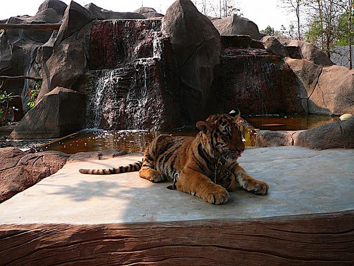 Тигровый храм (Tiger Temple) 77533