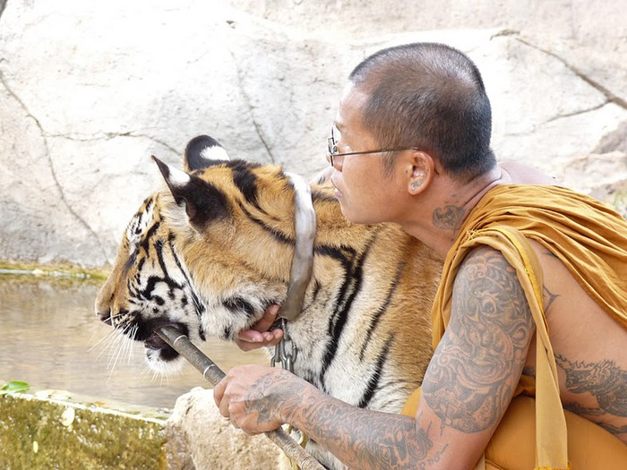 Тигровый храм (Tiger Temple) 77801