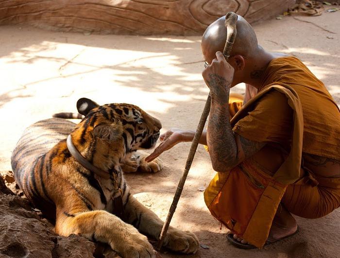 Тигровый храм (Tiger Temple) 36932