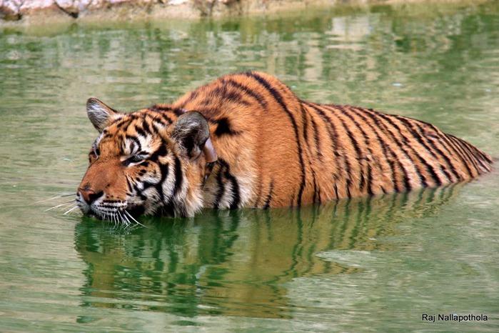 Тигровый храм (Tiger Temple) 83803