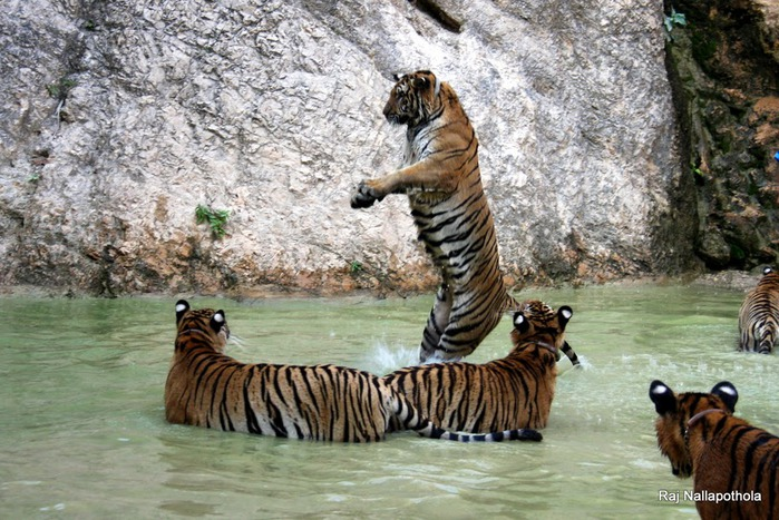 Тигровый храм (Tiger Temple) 50076