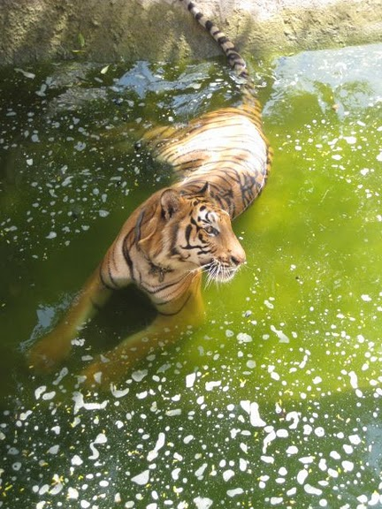 Тигровый храм (Tiger Temple) 91349