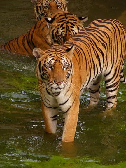 Тигровый храм (Tiger Temple) 58279