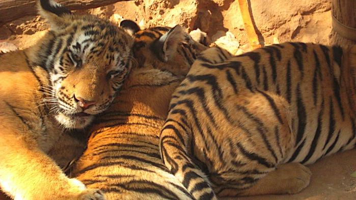 Тигровый храм (Tiger Temple) 77063