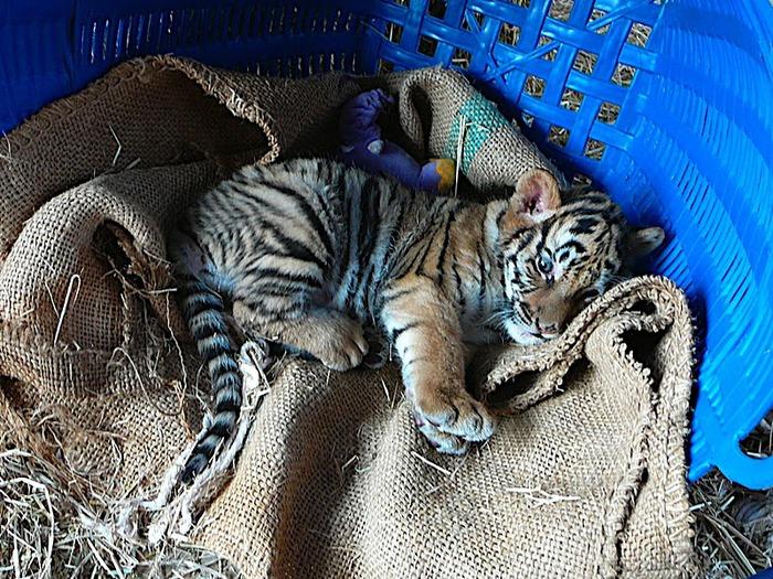 Тигровый храм (Tiger Temple) 31688
