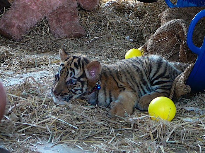 Тигровый храм (Tiger Temple) 95362