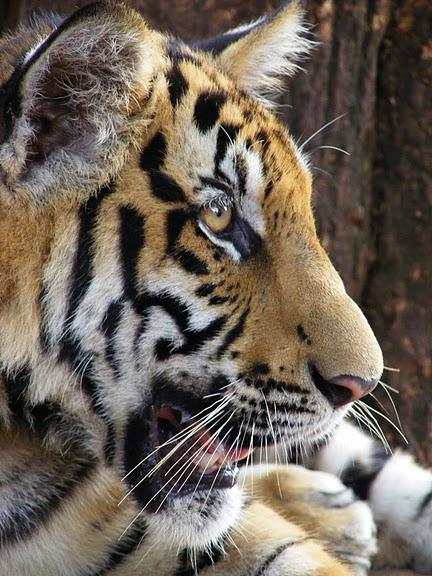 Тигровый храм (Tiger Temple) 78324