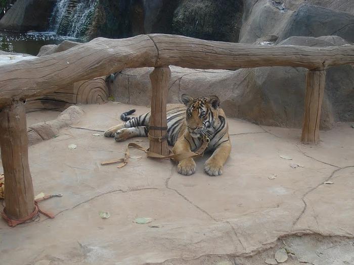 Тигровый храм (Tiger Temple) 39378