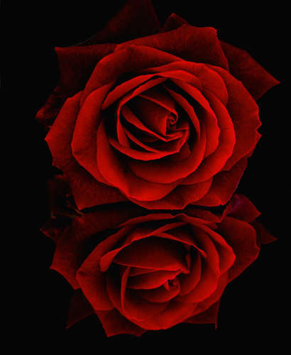 роза с отражением (410x500, 80 Kb)