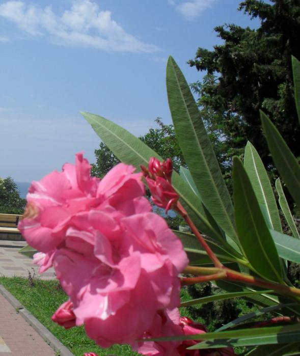 (589x699, 588Kb)Запах цветов олеандра нежный, волнующий, эротичный