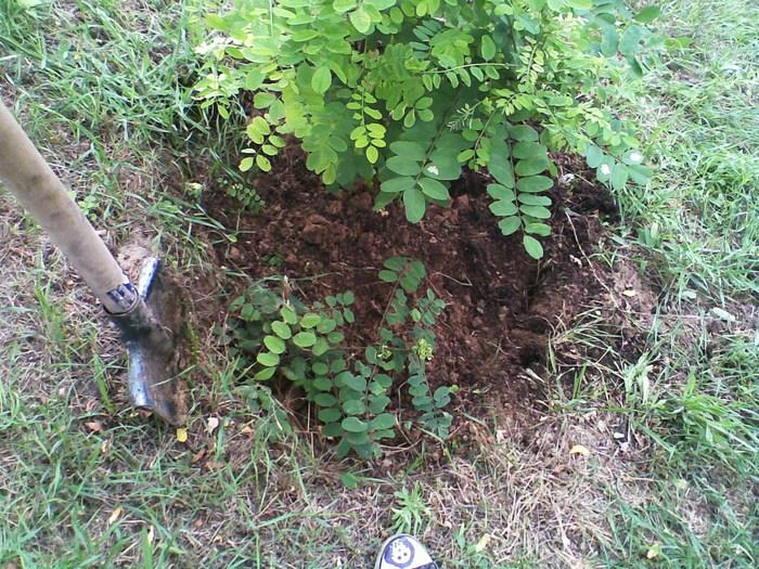 окучивание, огород, обкапывать деревья