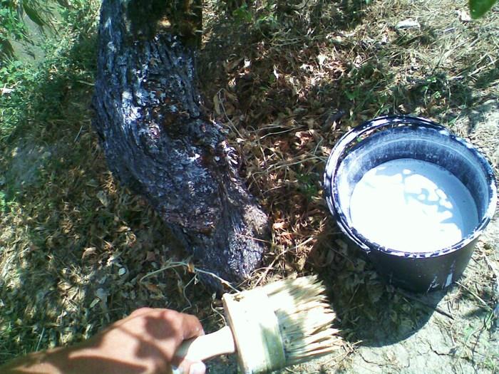 побелка, белить деревья, известь