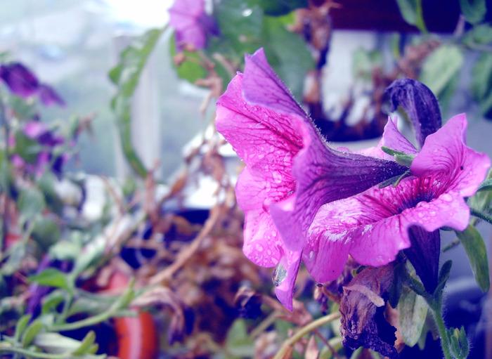 петуния дома, петуния после дождя, цветы мокрые