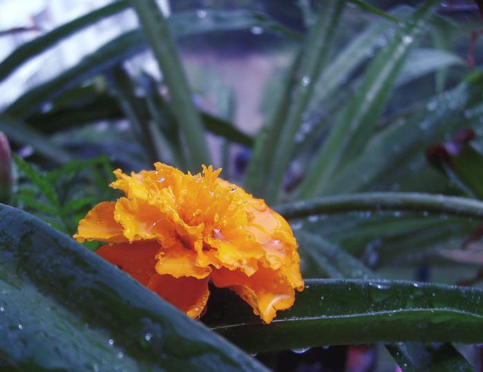 оранжевый цветок, после дождя
