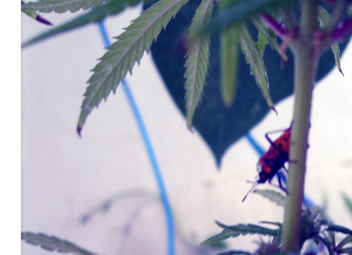 паразиты помидоры, конопля, после дождя