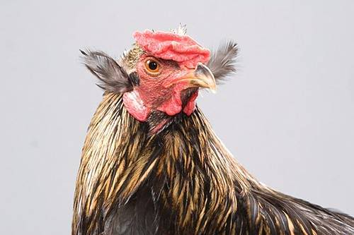 Beautiful Chickens In The World 13363