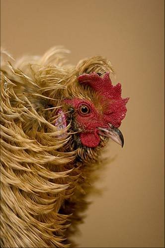 Beautiful Chickens In The World 71610