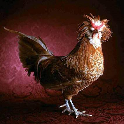 Beautiful Chickens In The World 95215