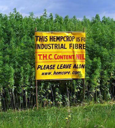 hemp-crop-photo (375x418, 73 Kb)